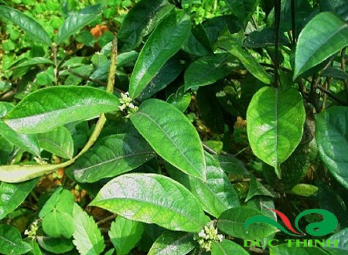 Giống đẳng sâm loại sâm việt nam, giống cây tuyệt vời đối với sức khỏe con người12