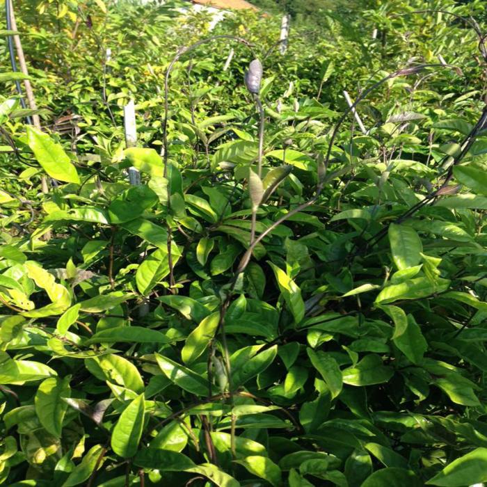 Giống đẳng sâm loại sâm việt nam, giống cây tuyệt vời đối với sức khỏe con người7