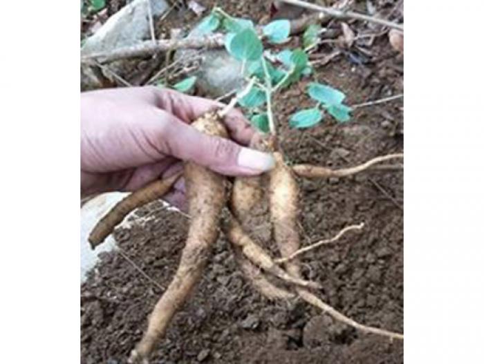 Giống đẳng sâm loại sâm việt nam, giống cây tuyệt vời đối với sức khỏe con người6