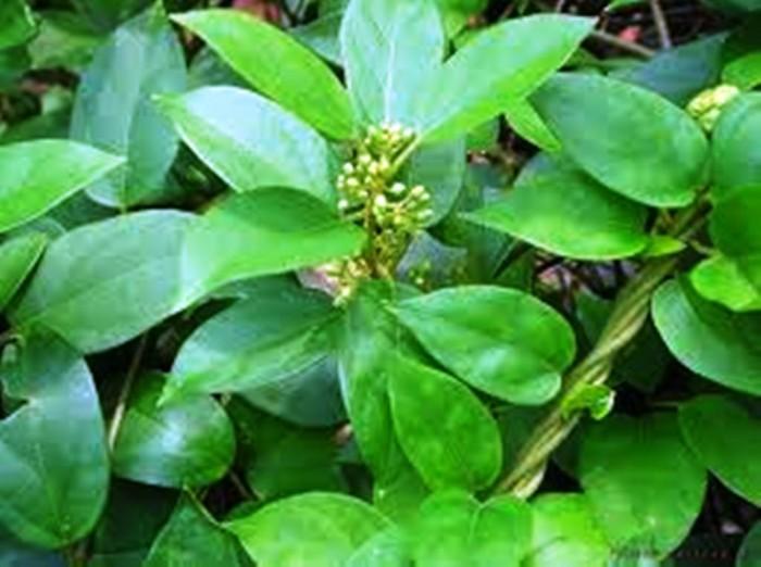Bán giống cây dược liệu, dây thìa canh giá rẻ nhất các tỉnh phía bắc. viện cây giống trung ương.3