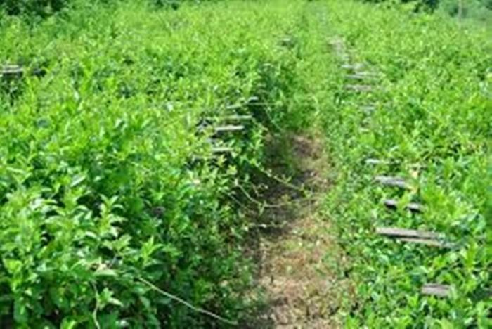 Bán giống cây dược liệu, dây thìa canh giá rẻ nhất các tỉnh phía bắc. viện cây giống trung ương.1