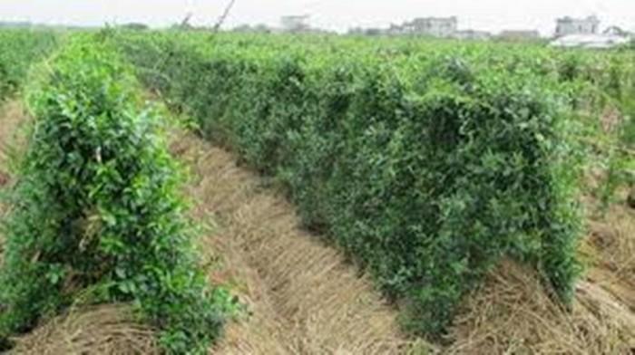 Bán giống cây dược liệu, dây thìa canh giá rẻ nhất các tỉnh phía bắc. viện cây giống trung ương.4