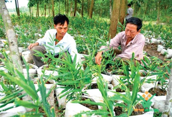 Viện cây giống trung ương, giống gừng cho năng xuất cao, chất lượng tốt, hiệu quả kinh tế cao5