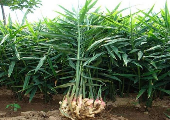 Viện cây giống trung ương, giống gừng cho năng xuất cao, chất lượng tốt, hiệu quả kinh tế cao4