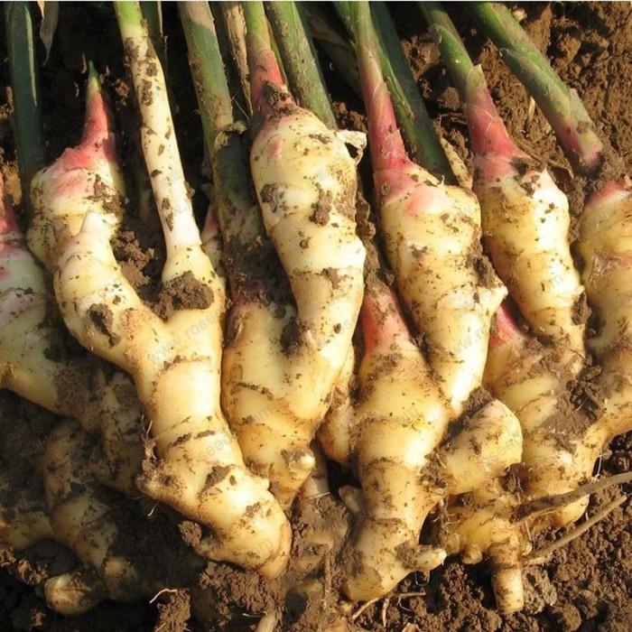 Viện cây giống trung ương, giống gừng cho năng xuất cao, chất lượng tốt, hiệu quả kinh tế cao1