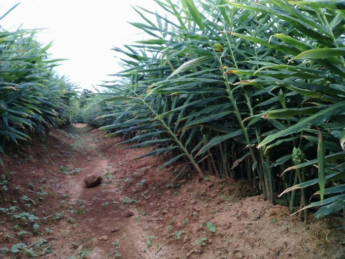 Viện cây giống trung ương, giống gừng cho năng xuất cao, chất lượng tốt, hiệu quả kinh tế cao0
