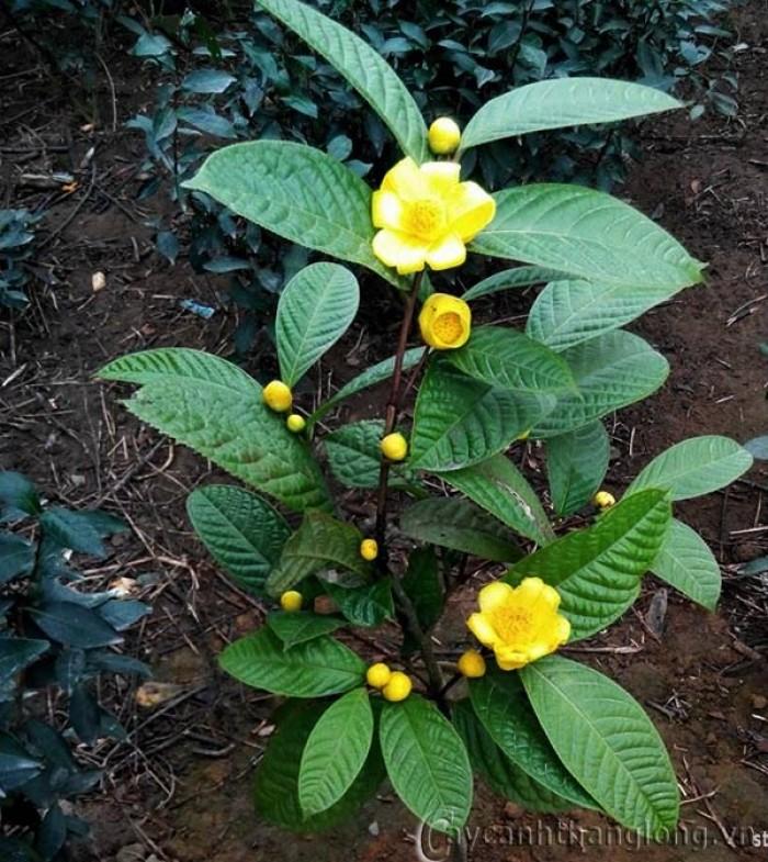 Viện cây giống trung ương, giống trà hoa vàng, cây giống, cây choai, cây nhỡ1