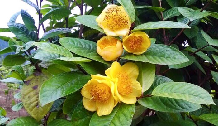 Viện cây giống trung ương, giống trà hoa vàng, cây giống, cây choai, cây nhỡ3