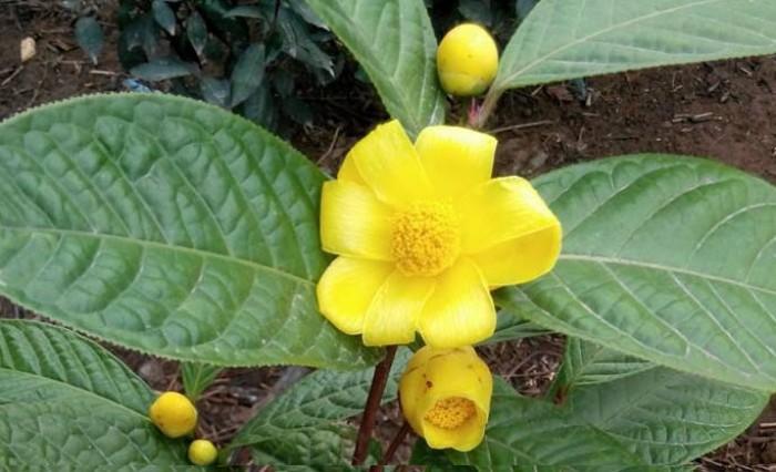 Viện cây giống trung ương, giống trà hoa vàng, cây giống, cây choai, cây nhỡ4