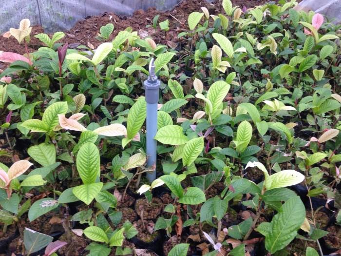 Viện cây giống trung ương, giống trà hoa vàng, cây giống, cây choai, cây nhỡ0