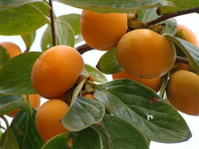Hồng nhân hậu, giống hồng nhân hậu đẹp mê ly, cung cấp số lượng lớn.7