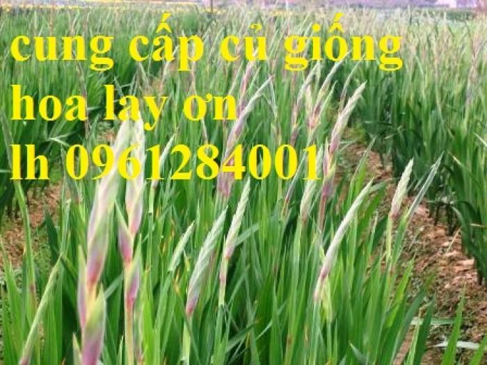 Chuyên cung cấp củ giống hay lay ơn, hoa dơn chuẩn giống, uy tín17