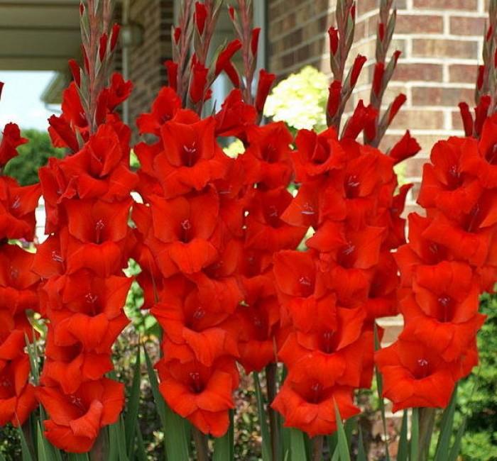 Chuyên cung cấp củ giống hay lay ơn, hoa dơn chuẩn giống, uy tín14