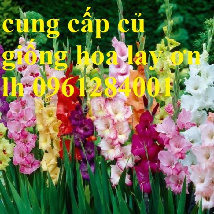 Chuyên cung cấp củ giống hay lay ơn, hoa dơn chuẩn giống, uy tín10