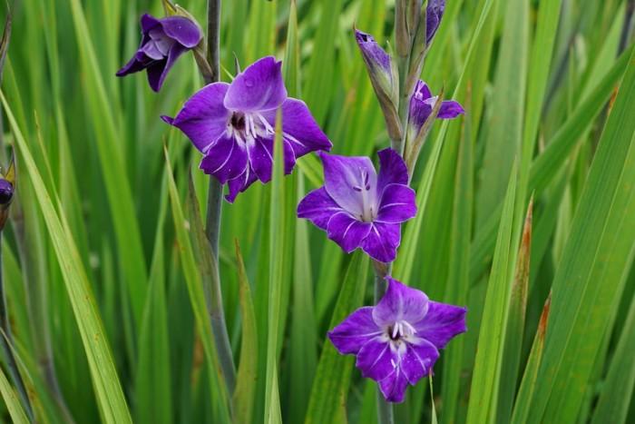 Chuyên cung cấp củ giống hay lay ơn, hoa dơn chuẩn giống, uy tín15