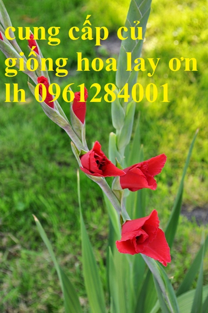 Chuyên cung cấp củ giống hay lay ơn, hoa dơn chuẩn giống, uy tín1
