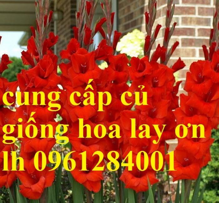 Chuyên cung cấp củ giống hay lay ơn, hoa dơn chuẩn giống, uy tín12