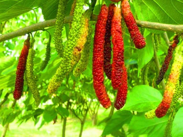 Viện cây giống trung ương. giống dâu quả dài đài loan, chuẩn giống nhập khẩu,3
