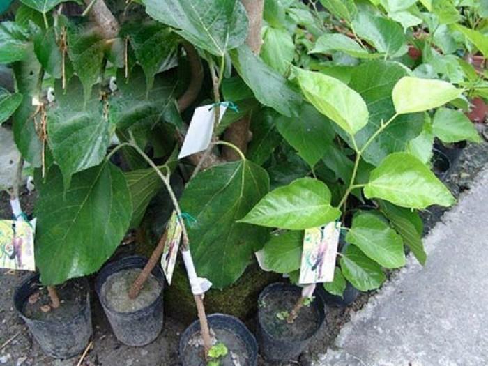 Viện cây giống trung ương. giống dâu quả dài đài loan, chuẩn giống nhập khẩu,5