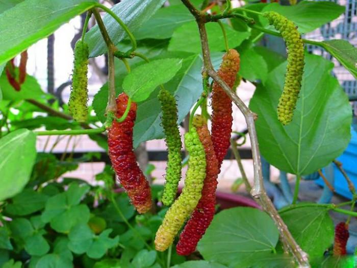 Viện cây giống trung ương. giống dâu quả dài đài loan, chuẩn giống nhập khẩu,2