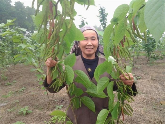 Viện cây giống trung ương. giống dâu quả dài đài loan, chuẩn giống nhập khẩu,4