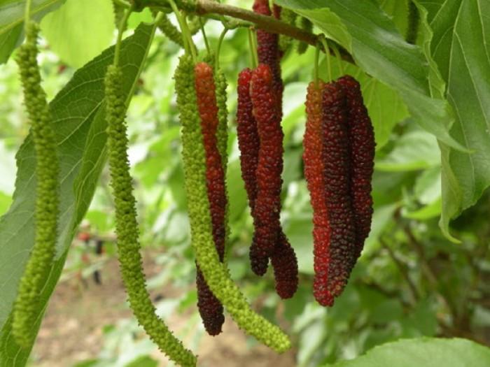 Viện cây giống trung ương. giống dâu quả dài đài loan, chuẩn giống nhập khẩu,1
