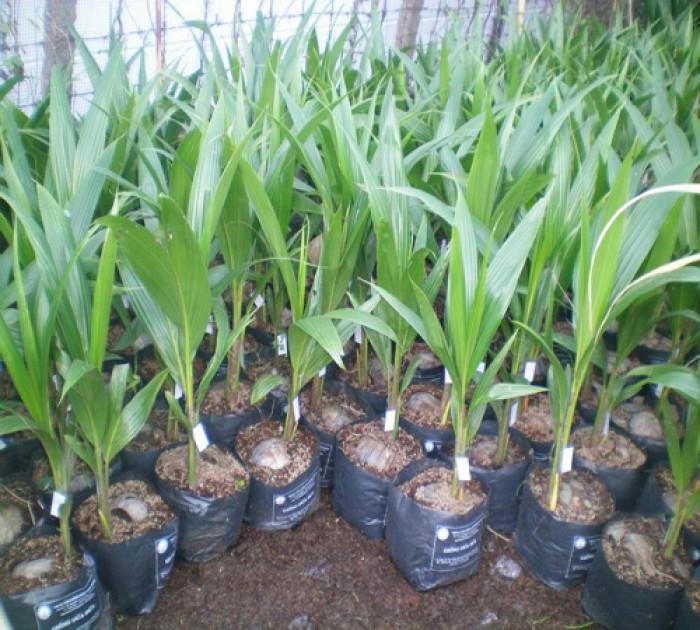 Viện cây giống trung ương, giống dừa xiêm xanh lùn, chuẩn giống, cây giống chuẩn đẹp1