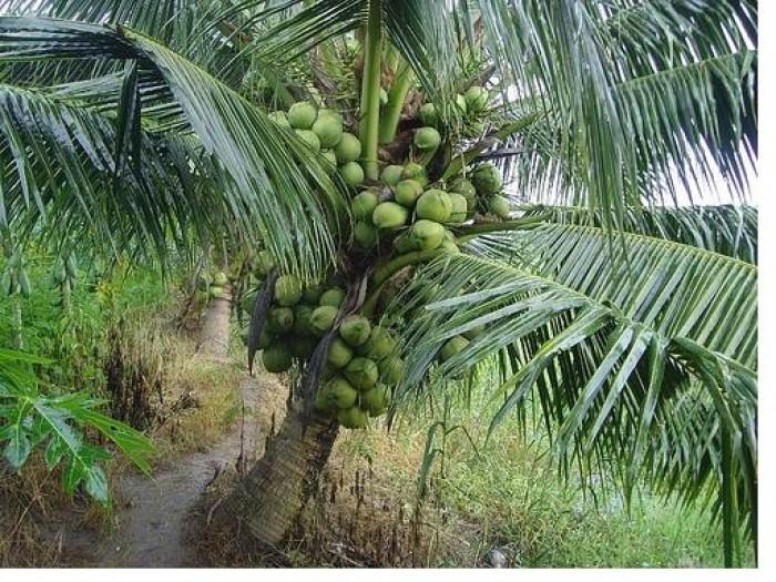 Viện cây giống trung ương, giống dừa xiêm xanh lùn, chuẩn giống, cây giống chuẩn đẹp3