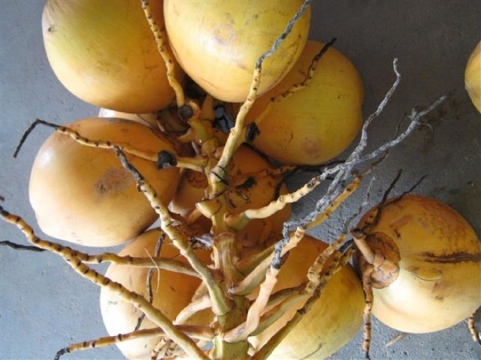 Giống cây trồng dừa lửa đỏ, giống dừa đỏ chuẩn giống lùn. cây đẹp chuẩn giống2