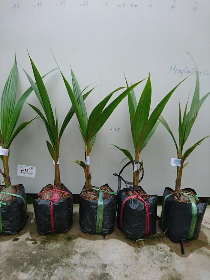 Giống cây trồng dừa lửa đỏ, giống dừa đỏ chuẩn giống lùn. cây đẹp chuẩn giống0