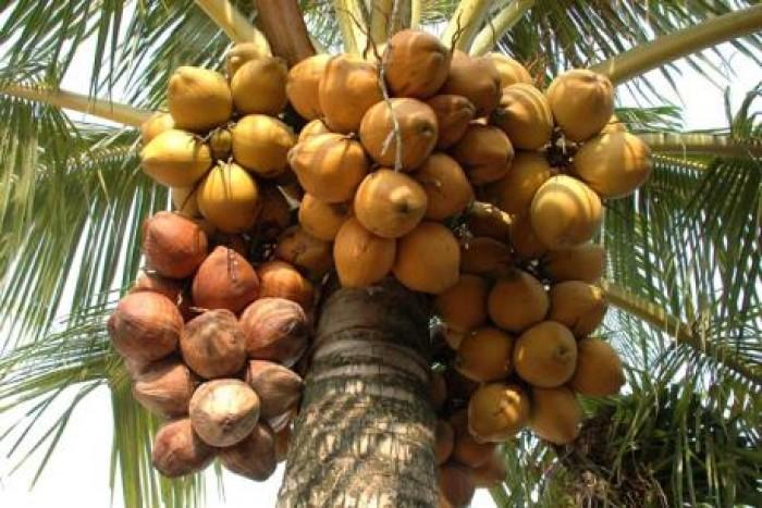 Giống cây trồng dừa lửa đỏ, giống dừa đỏ chuẩn giống lùn. cây đẹp chuẩn giống4