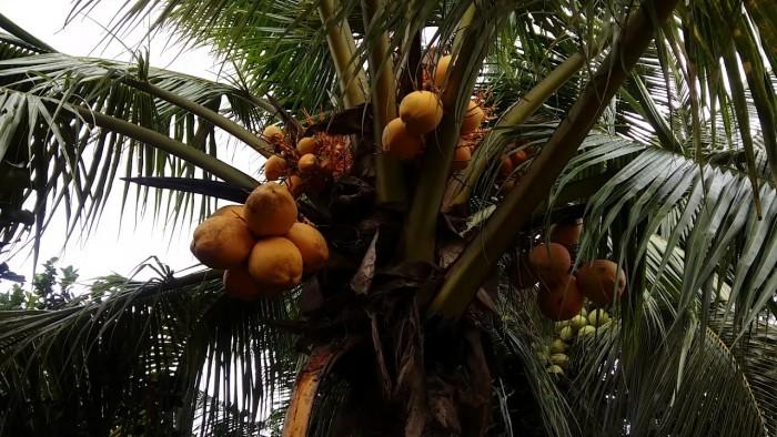 Giống cây trồng dừa lửa đỏ, giống dừa đỏ chuẩn giống lùn. cây đẹp chuẩn giống3