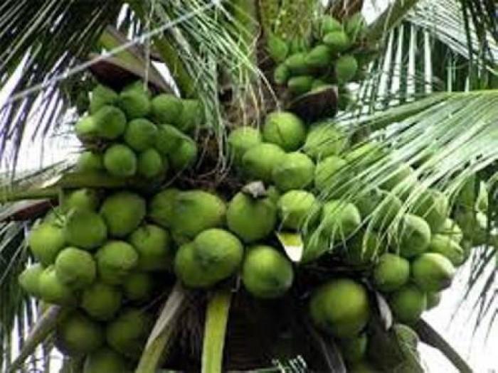 Viện cây giống trung ương, cung cấp giống dừa dứa, chuẩn giống khách hàng trồng.5