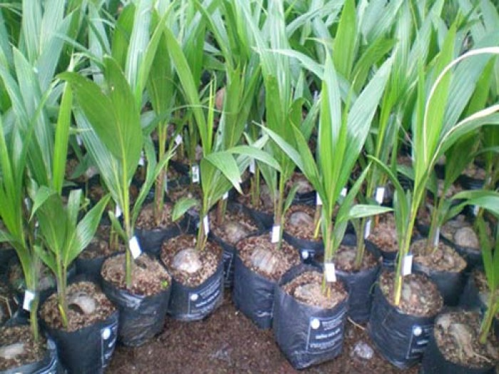 Viện cây giống trung ương, cung cấp giống dừa dứa, chuẩn giống khách hàng trồng.4