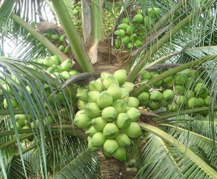 Viện cây giống trung ương, cung cấp giống dừa dứa, chuẩn giống khách hàng trồng.1