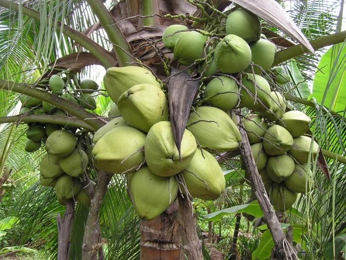 Viện cây giống trung ương, cung cấp giống dừa dứa, chuẩn giống khách hàng trồng.0