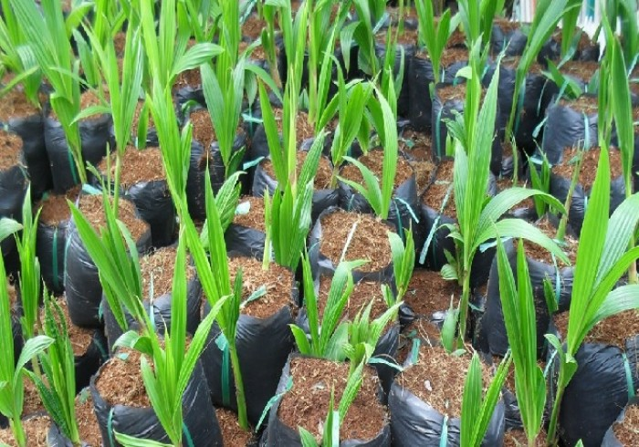 Viện cây giống trung ương, cung cấp giống dừa dứa, chuẩn giống khách hàng trồng.3