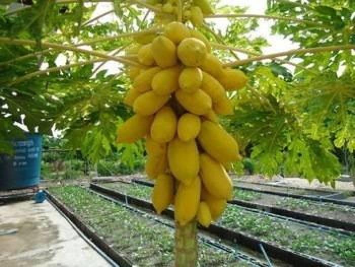 Viện cây giống trung ương, Giống đu đủ lùn vàng, cây đẹp chuẩn giống, đúng chất lượng2