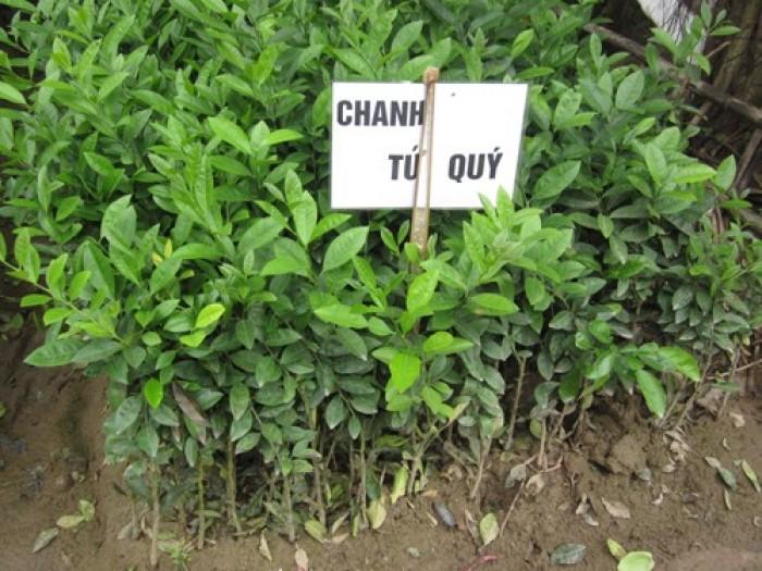 Viện cây giống trung ương. cung cấp giống chanh tứ quý, cung cấp số lượng lớn.1