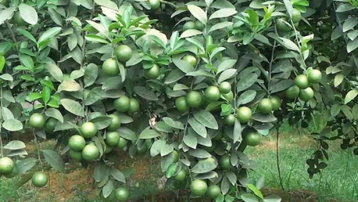 Viện cây giống trung ương. cung cấp giống chanh tứ quý, cung cấp số lượng lớn.2