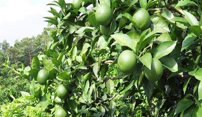 Viện cây giống trung ương. cung cấp giống chanh tứ quý, cung cấp số lượng lớn.4