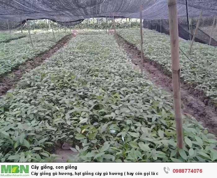 Cây giống gù hương, hạt giống cây gù hương ( hay còn gọi là cây xá xị ).0