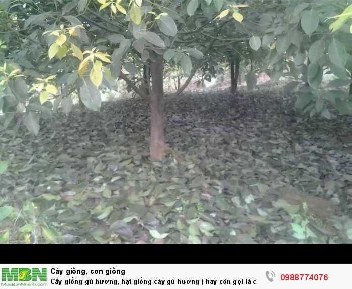 Cây giống gù hương, hạt giống cây gù hương ( hay còn gọi là cây xá xị ).2