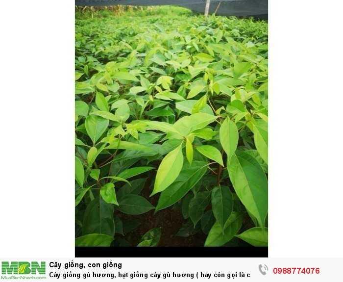 Cây giống gù hương, hạt giống cây gù hương ( hay còn gọi là cây xá xị ).3
