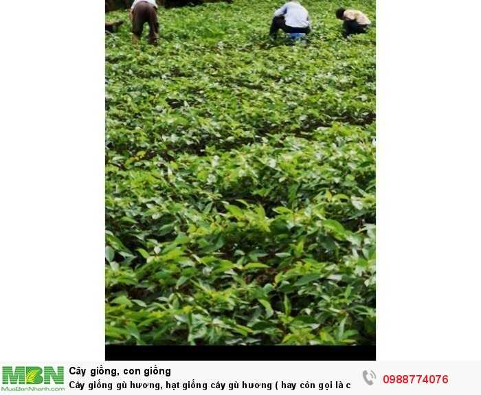 Cây giống gù hương, hạt giống cây gù hương ( hay còn gọi là cây xá xị ).4