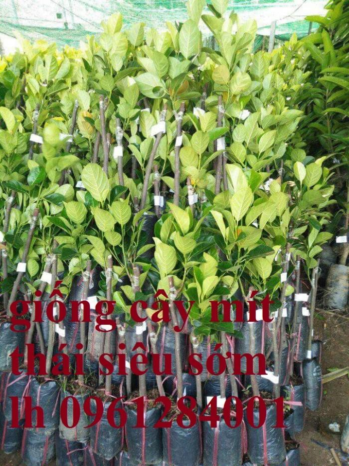 Cung cấp giống cây mít thái, mít changai, mít tứ quý, kỹ thuật trồng cây mít chuẩn3