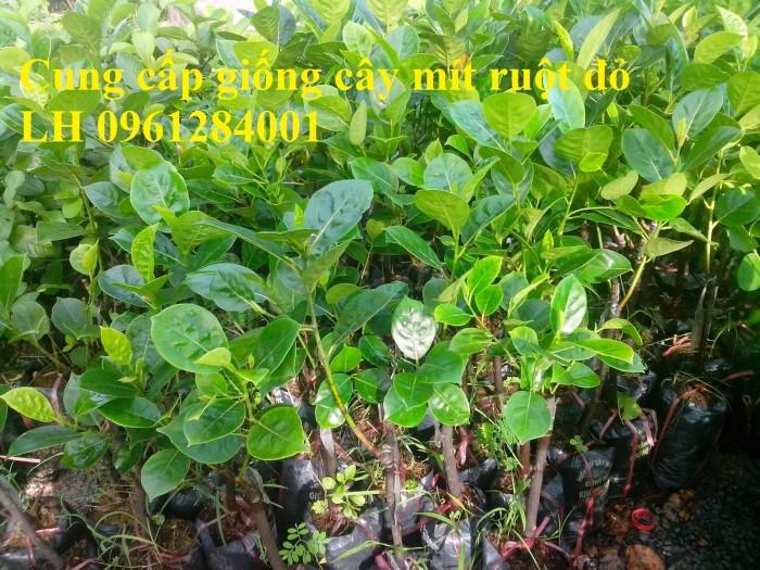 Cung cấp giống cây mít ruột đỏ, cây giống đầu nguồn uy tín, chất lượng4
