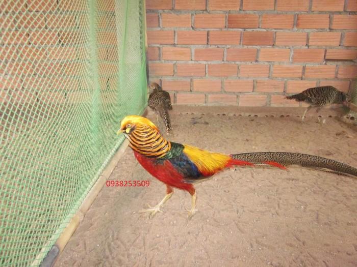 Chim trĩ 7 màu0