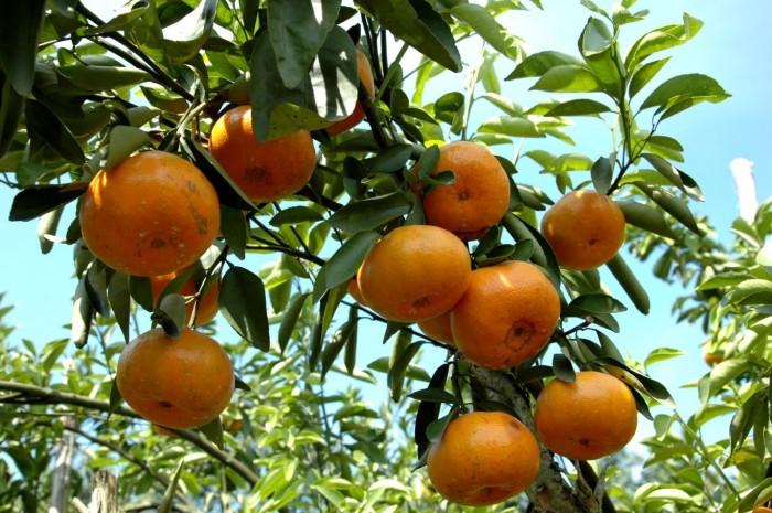 Chuyên cung cấp giống quýt thái lan, quýt đường thái cung cấp số lượng lớn, cung cấp chuẩn giống giá rẻ nhất vịnh bắc bộ5