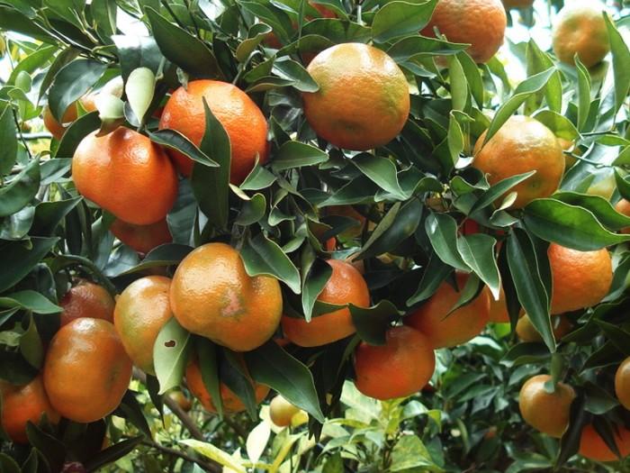 Chuyên cung cấp giống quýt thái lan, quýt đường thái cung cấp số lượng lớn, cung cấp chuẩn giống giá rẻ nhất vịnh bắc bộ2